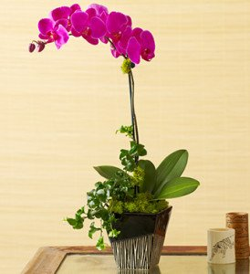orchid in zebra print container