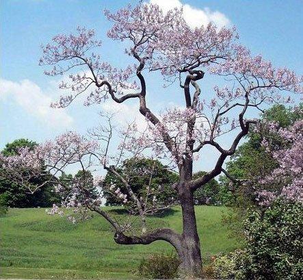 Royal Empress Tree Home Garden PartyIdeaProscom