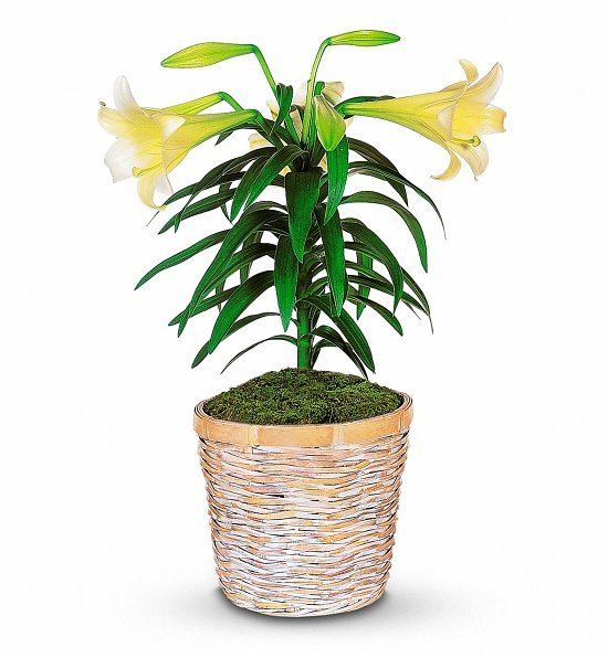 White Easter Lily Potted Plant, Best Easter Hostess Gifts
