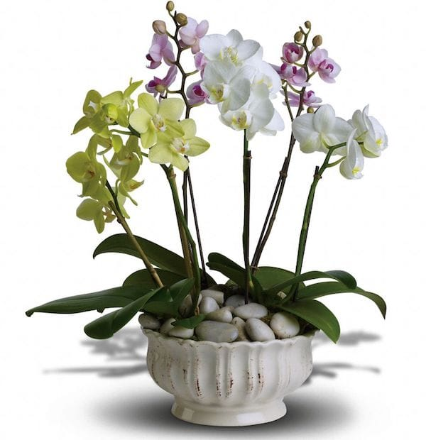 Regal Orchid Housewarming Gift